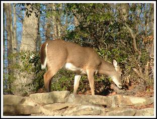 deer1_s.jpg