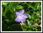 pflower2.jpg
